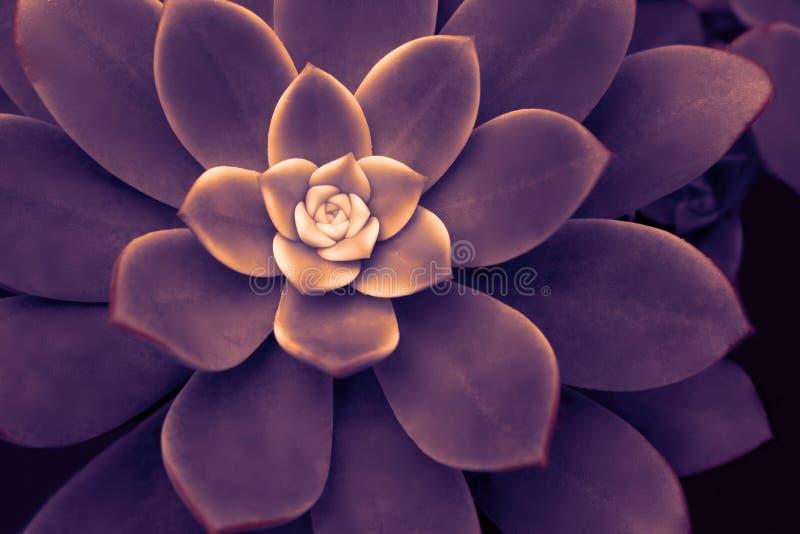 Tropische donkere echeveria bloem op zwarte achtergrond macro Kleurig, krachtig, expressief beeld van de natuur stock foto