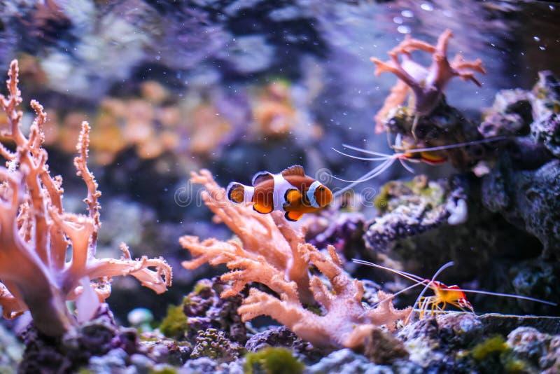 Tropische en koraal overzeese vissen Mooie onderwaterwereld Clown Fish royalty-vrije stock afbeelding