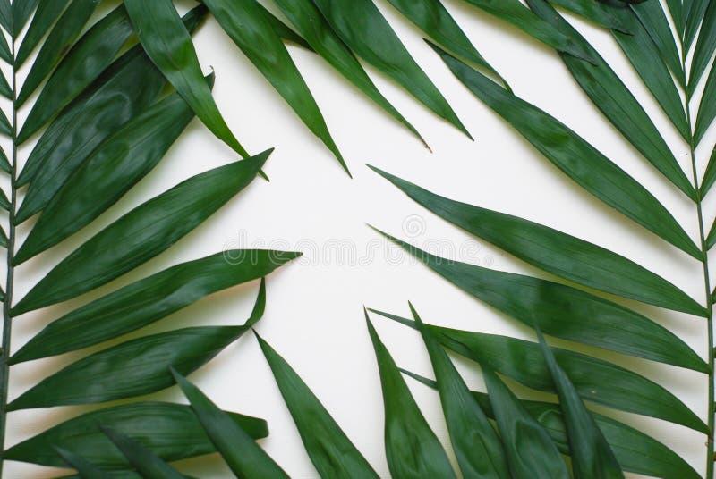 Tropische Exotische Boom Isoalted van palm de Groene Bladeren op Witte Achtergrond Holliday Patern Template stock afbeelding