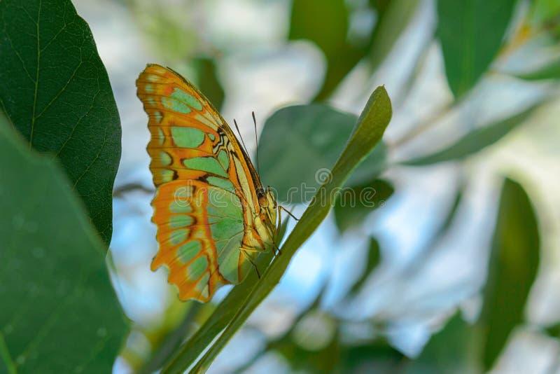 Tropische exotische Malachietvlinder of Siproeta stelenes royalty-vrije stock afbeeldingen
