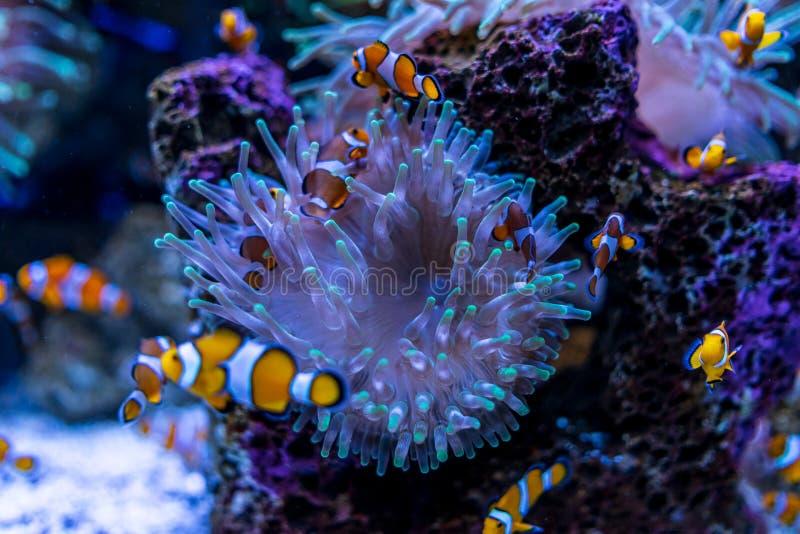 Tropische Fische Clownfish Amphiprioninae lizenzfreies stockfoto