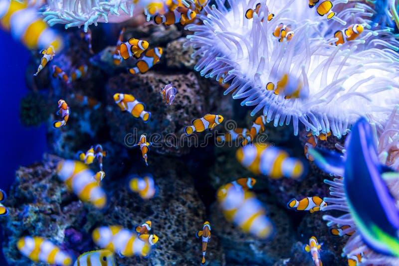 Tropische Fische Clownfish Amphiprioninae lizenzfreie stockfotos