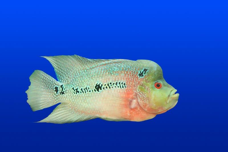 Tropische Fische getrennt lizenzfreies stockfoto