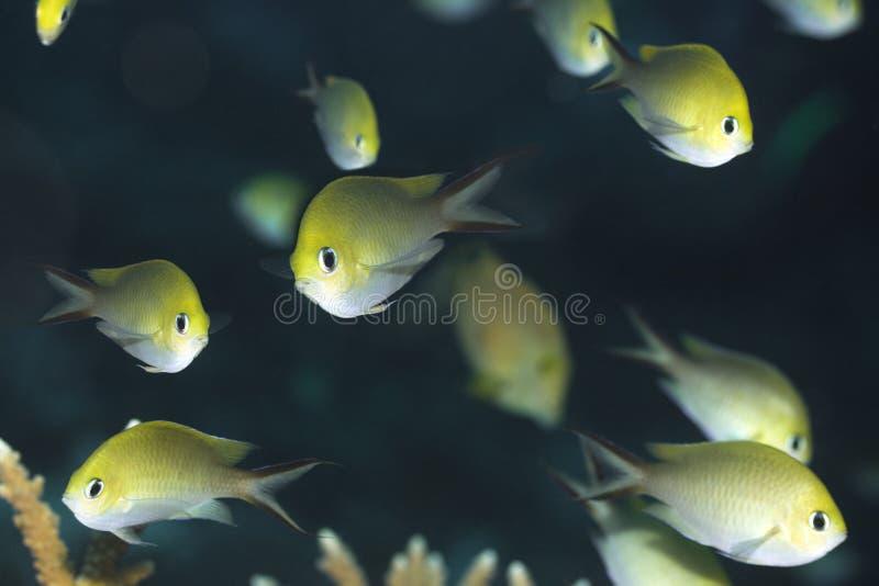 Tropische Fische goldenes Chromis stockfotos