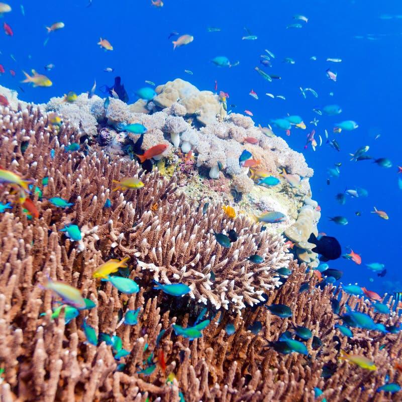 Tropische Fische nähern sich buntem Korallenriff stockfotografie