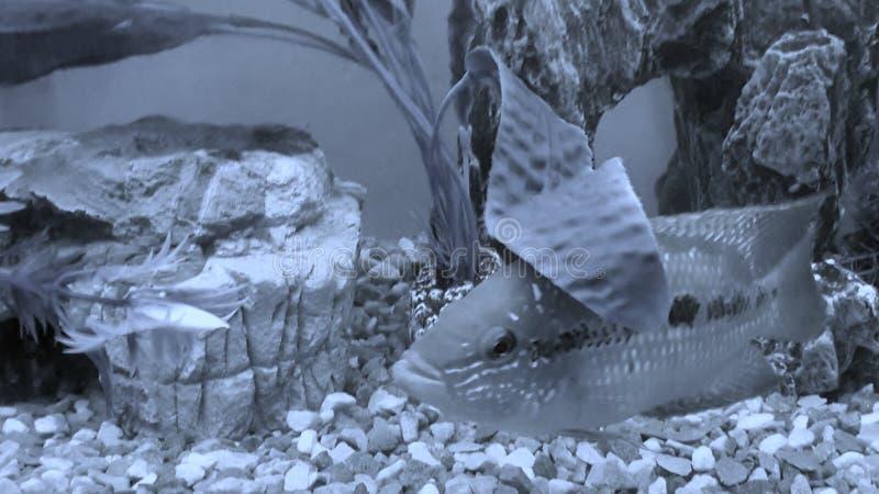 Tropische Fische Salvini lizenzfreie stockfotos