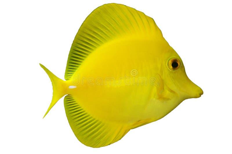 Tropische Fische Z. flavescens stockbilder