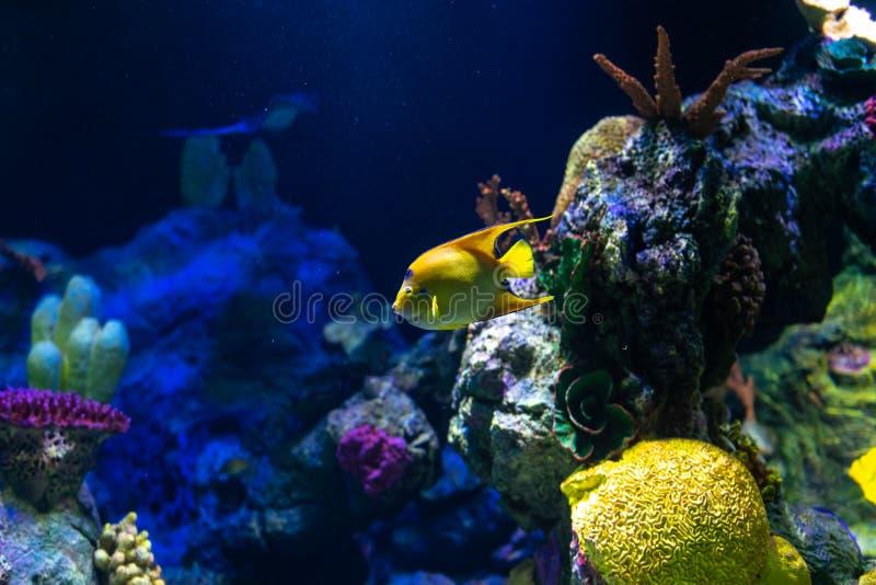 Tropische Fischköniginengelhai Holacanthus-ciliaris lizenzfreie stockbilder