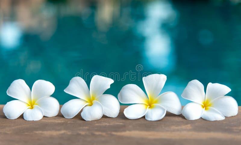 Tropische frangipani witte bloem dichtbij het zwembad, flower spa stock foto's
