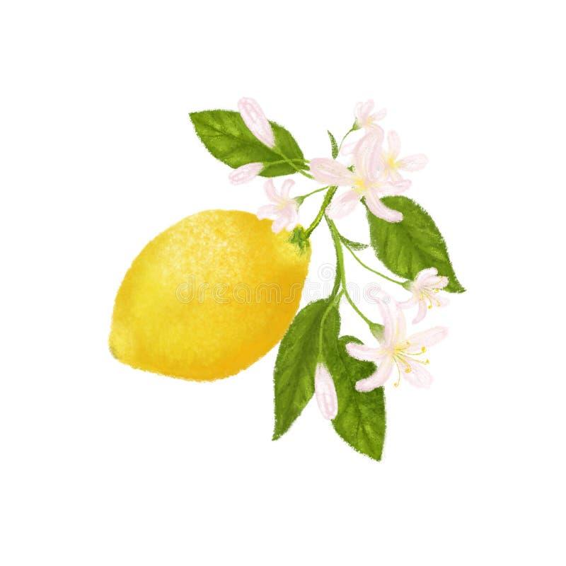 Tropische Frucht der gelben Zitrusfrucht Zitrone, Bl?tter und Blumen Tropische Clipartillustration Gr?ner Hintergrund vektor abbildung