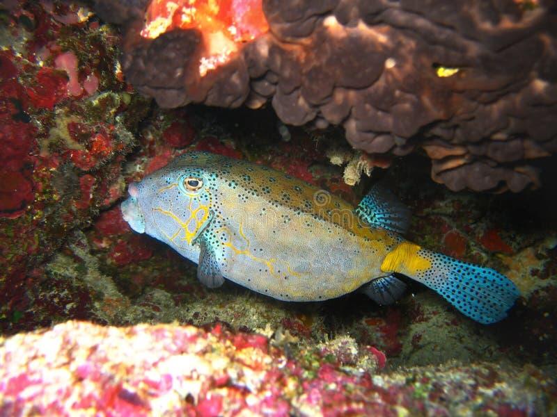 Tropische geel-blauwe vissen onder kleurrijke koralen in aard in Vreedzame oceaan stock afbeelding