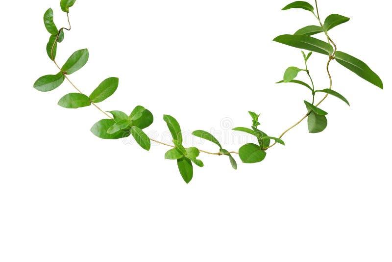 Tropische grüne Blattrebbergsteigeranlage lokalisiert auf weißem backgro stockbilder