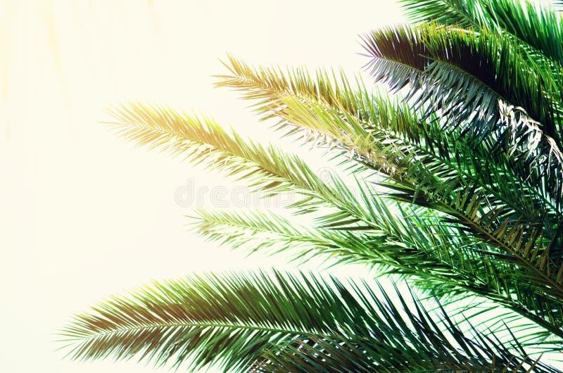 Tropische grüne Palmblätter und Niederlassungen auf blauem Himmel mit Kopienraum Sonniger Tag, Sommerkonzept Sun über Palmen stockfotografie