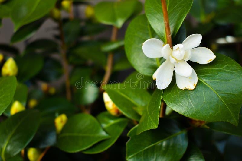 Tropische Grünpflanze mit einer weißen Blume stockfotos