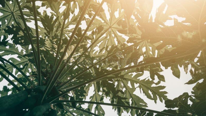 Tropische groene de textuurachtergrond van het papajablad, Donkere toon met su stock afbeeldingen