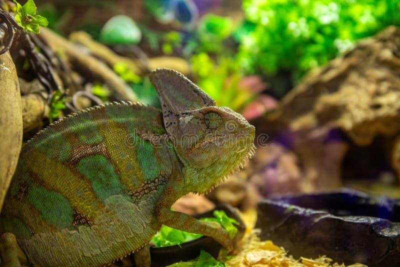 Tropische hagedis in terrarium Foto van de sluiting van Chameleon Exotische dieren in dierentuinleefruimten Kleurverandering van  stock afbeelding