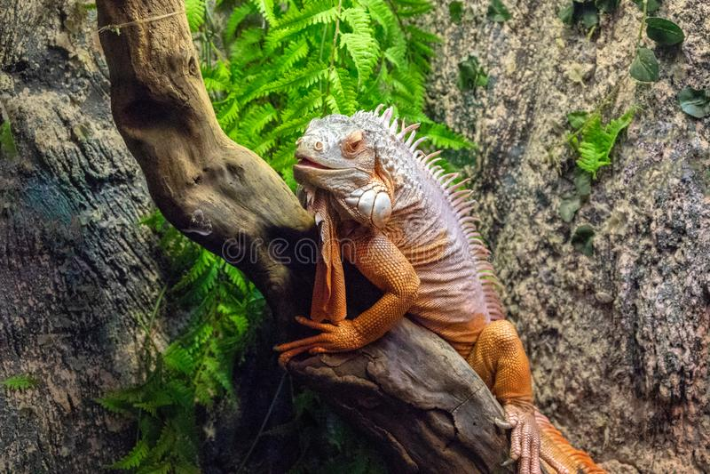 Tropische hagedis in terrarium Foto van Iguana closeup Oranje hagedis rust op houten romp Terrarium-behuizing in dierentuin stock foto