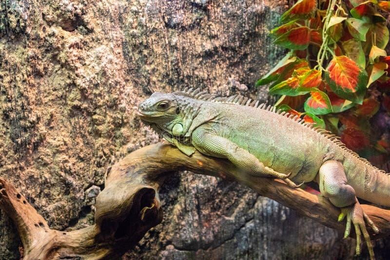 Tropische hagedis in terrarium Foto van Iguana closeup Sjabloon voor exotische dierbanner Tropische reptielenzorg en -huisvesting royalty-vrije stock fotografie