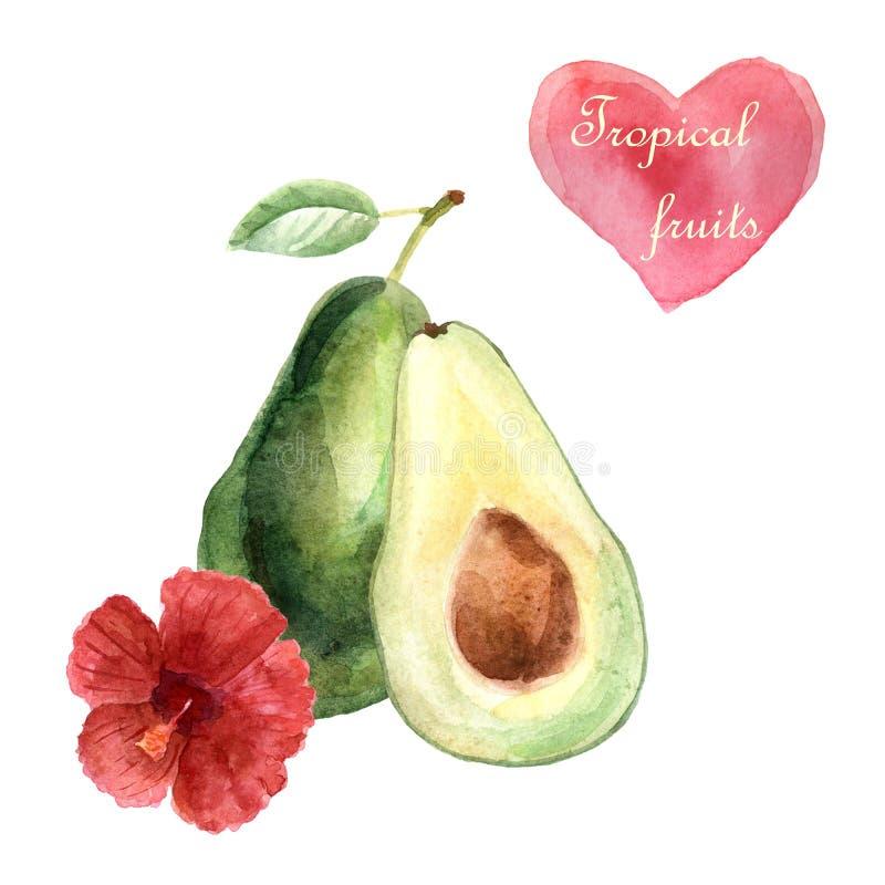 Tropische Illustration des Aquarells mit Avocado auf einem weißen Hintergrund vektor abbildung