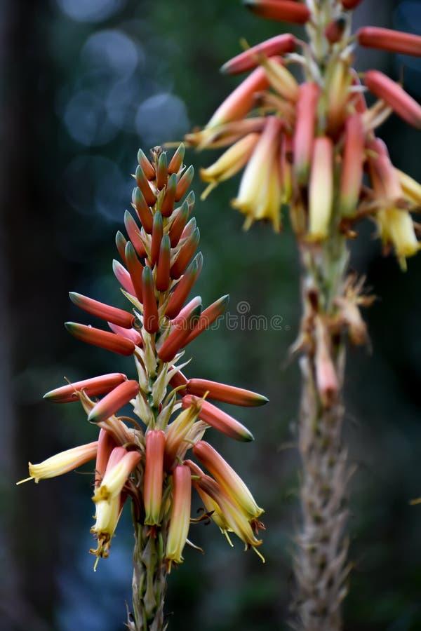 Tropische Installatie met Oranje en Gele Spiked Bloemen stock afbeelding