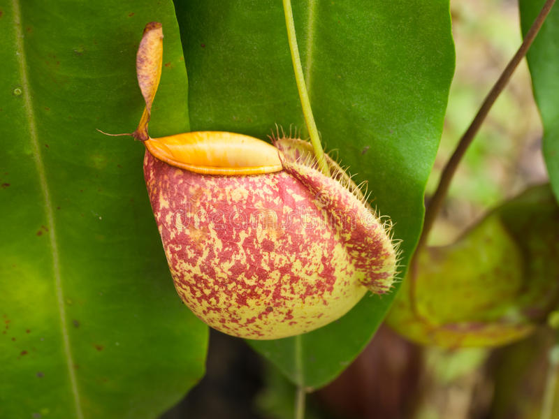 Download Tropische Kannenpflanzen stockbild. Bild von betrieb - 26367925