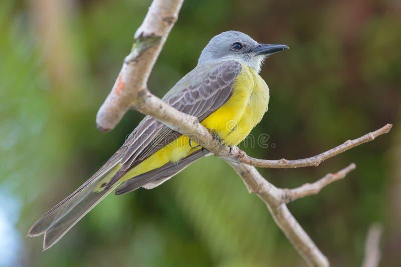 Tropische Kingbird royalty-vrije stock fotografie