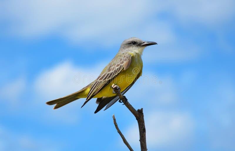 Tropische Kingbird royalty-vrije stock foto's