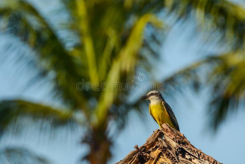 Tropische Kingbird stock afbeelding