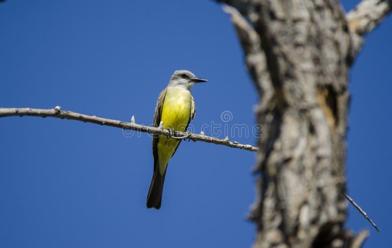 Tropische Kingbird, Sweetwater-Moerasland Tucson Arizona, de V.S. stock fotografie