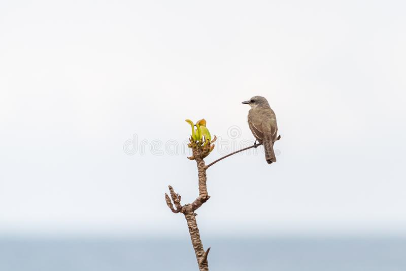 Tropische kingbird & x28; Tyrannus melancholicus& x29; neergestreken stock afbeeldingen