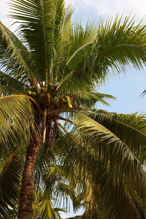 Tropische kokospalmclose-up op blauwe hemel stock foto