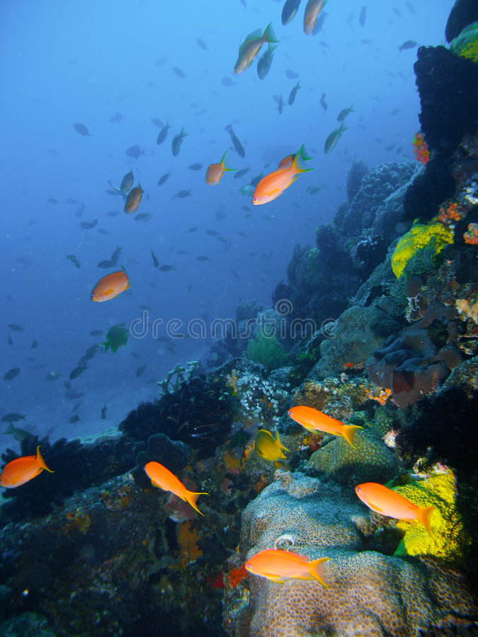 Tropische koraalrifvissen stock afbeelding