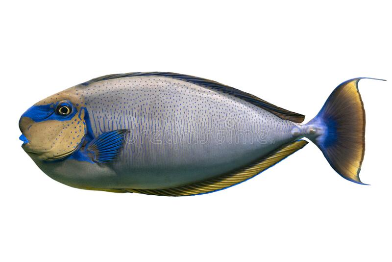 Tropische koraalvis Bignose unicornfish Naso vlamingii geïsoleerd op witte achtergrond stock foto