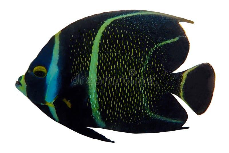 Tropische koraalvis Franse Angel Fish geïsoleerd op witte achtergrond royalty-vrije stock foto's