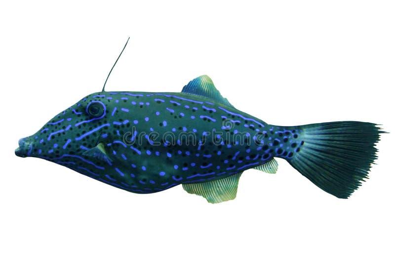 Tropische koraalvis Gesrokken bestandsvis geïsoleerd op witte achtergrond royalty-vrije stock foto's