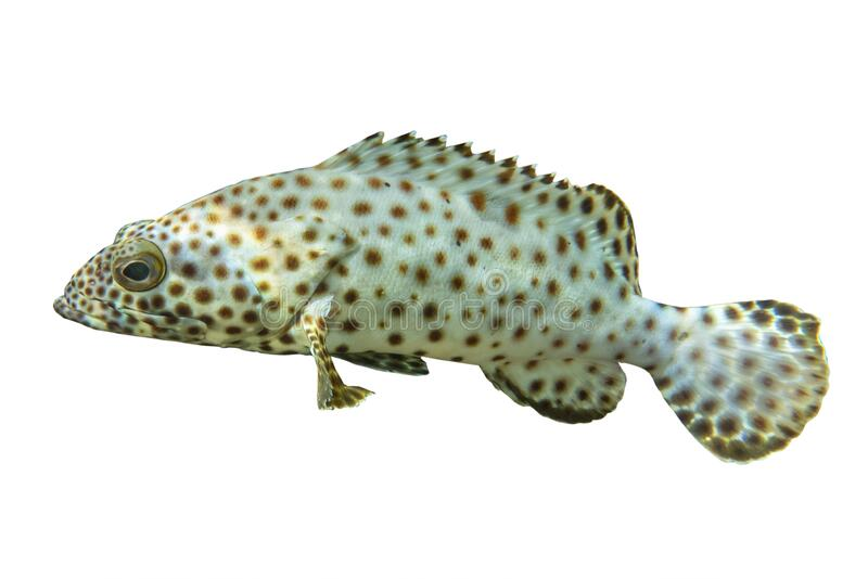 Tropische koraalvis Humpback grouper Cromileptes altivelis geïsoleerd op witte achtergrond royalty-vrije stock afbeeldingen