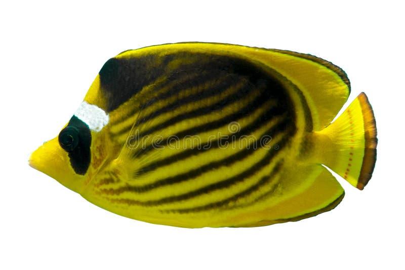 Tropische koraalvis Racoon Butterfly Fish geïsoleerd op witte achtergrond stock foto's