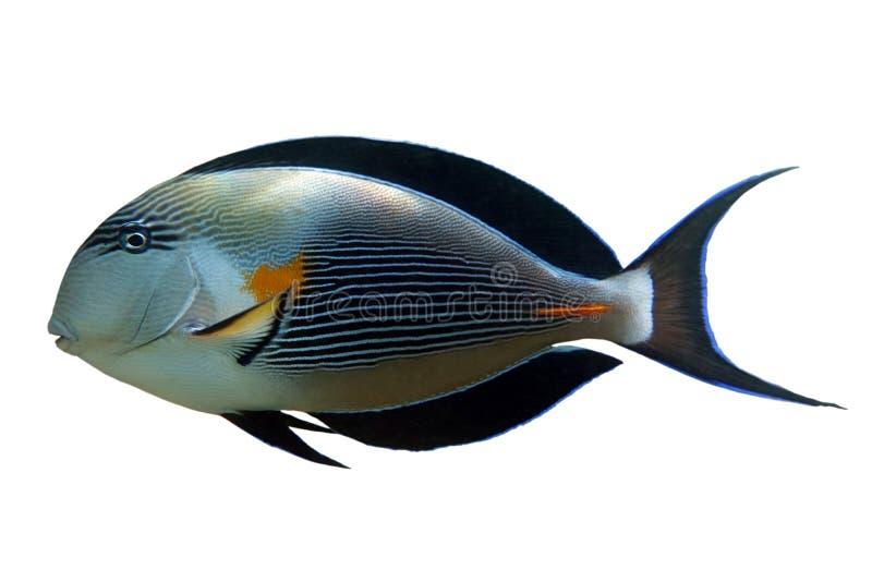 Tropische koraalvis Sohal surgeonfish - Acanthurus sohal geïsoleerd op witte achtergrond royalty-vrije stock afbeelding