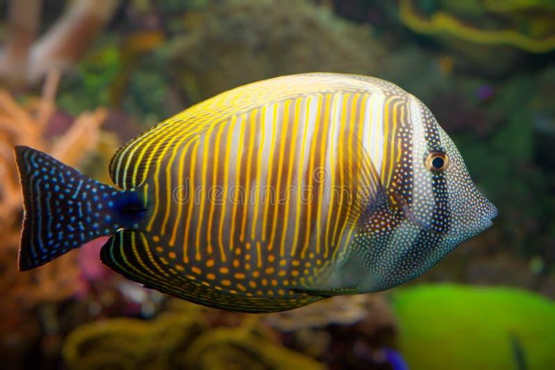 Tropische koraalvissen royalty-vrije stock fotografie
