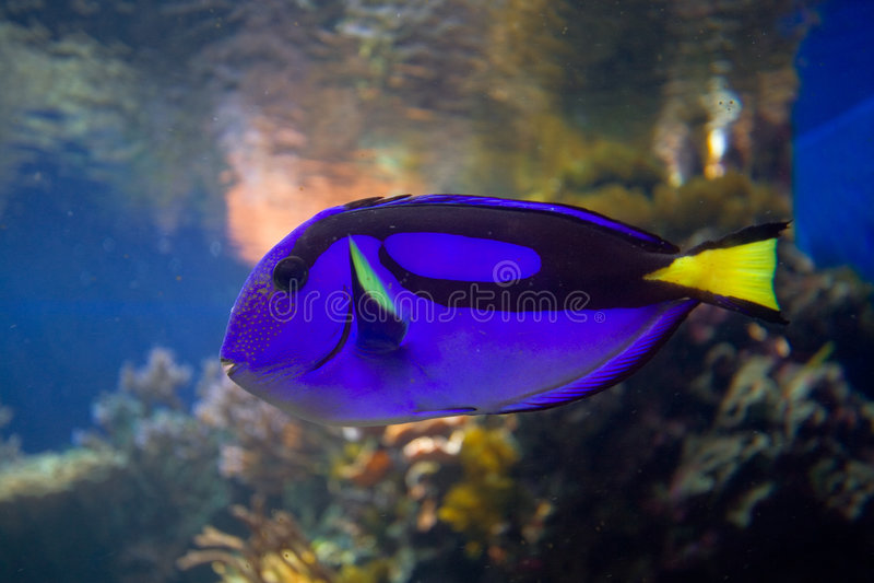 Tropische Korallenrifffische lizenzfreies stockfoto