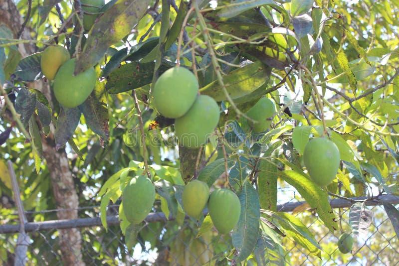 Tropische Mango's stock afbeeldingen