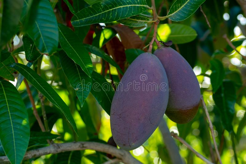 Tropische mangoboom met grote purpere rijpe mangovruchten die in boomgaard op Gran Canaria-eiland, Spanje groeien Cultuur van man royalty-vrije stock fotografie
