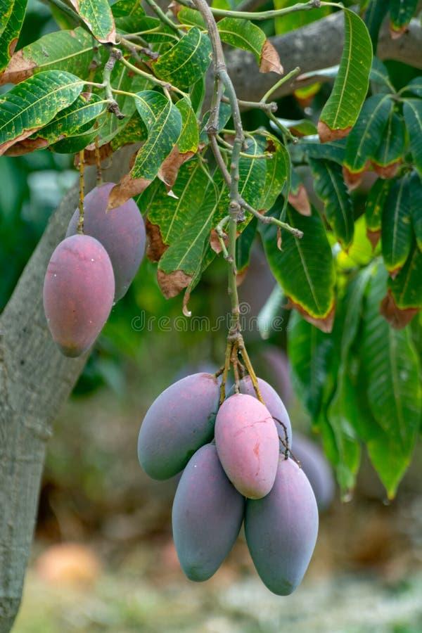 Tropische mangoboom met grote rijpe mangovruchten die in boomgaard op Gran Canaria-eiland, Spanje groeien Cultuur van mangovrucht stock afbeeldingen