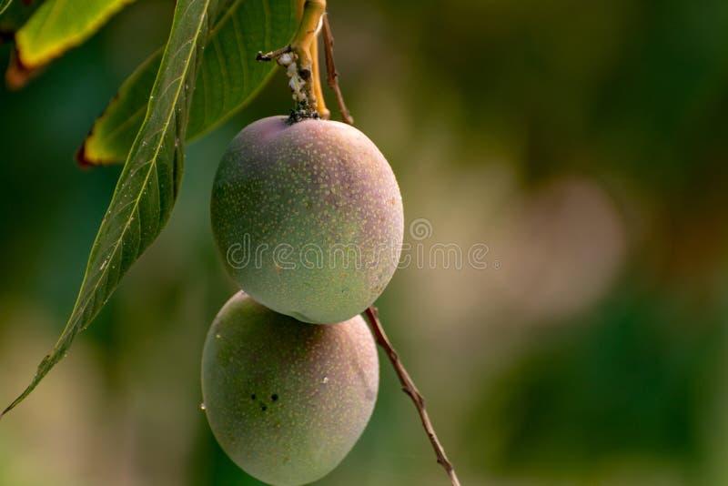 Tropische mangoboom met grote rijpe mangovruchten die in boomgaard op Gran Canaria-eiland, Spanje groeien Cultuur van mangovrucht royalty-vrije stock foto's