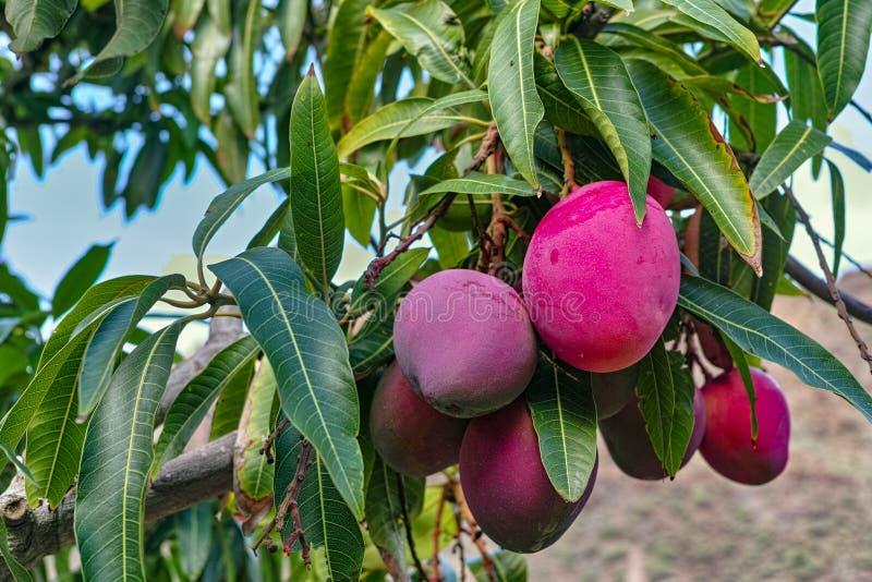 Tropische mangoboom met grote rijpe mangovruchten die in boomgaard op Gran Canaria-eiland, Spanje groeien Cultuur van mangovrucht royalty-vrije stock afbeelding