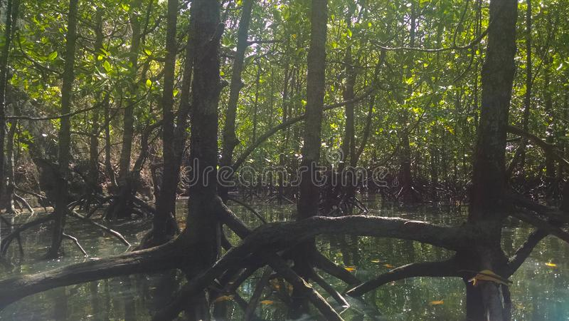 Tropische Mangrovebomen in Maleisi? royalty-vrije stock foto