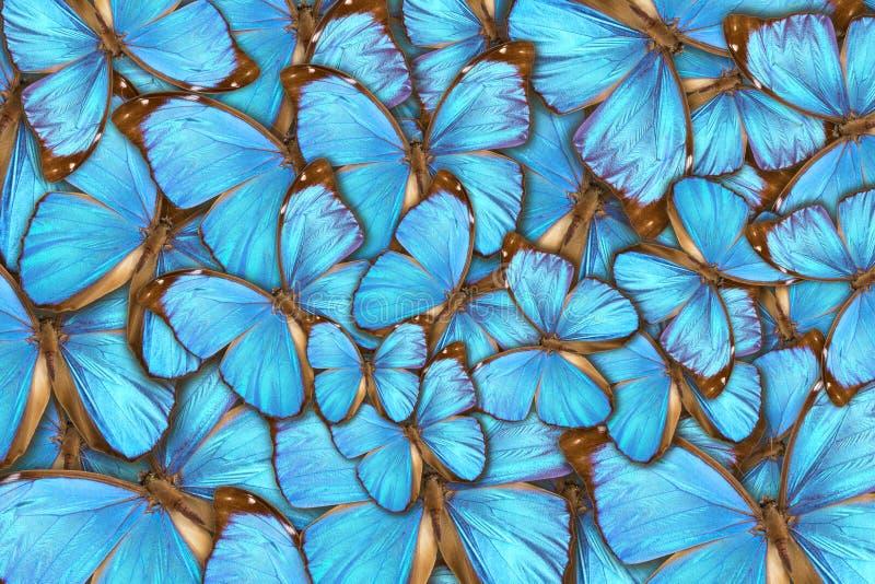tropische menelaus van butterflysmorpho royalty-vrije stock foto's