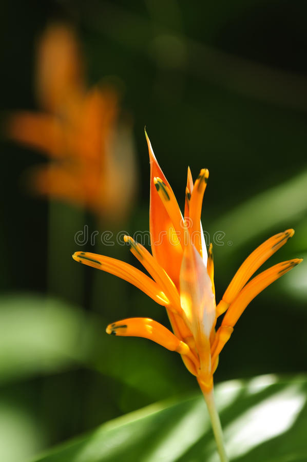 Tropische orange heliconia Blume lizenzfreie stockfotografie