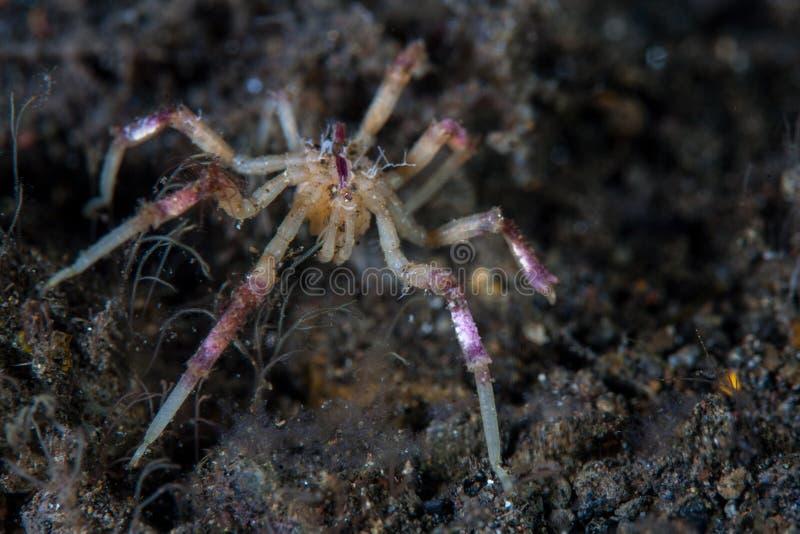 Tropische Overzeese Spin op Zwart Zand in Indonesië royalty-vrije stock foto's