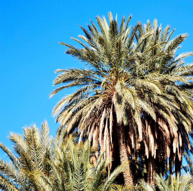 tropische palm in Marokko Afrika alleen en de hemel stock fotografie
